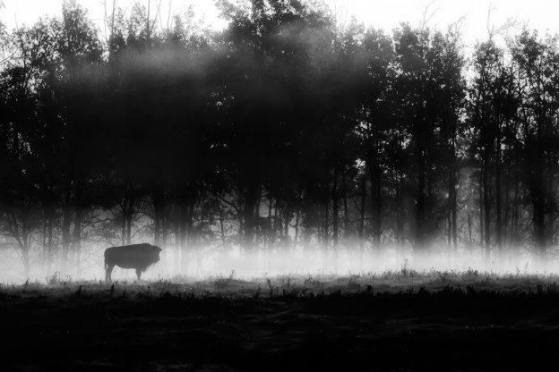 Black and white Plains bison cow (bison bison bison) stands still during a foggy sunrise on the bison loop at Elk Island National Park, early autumn. Alberta wildlife.