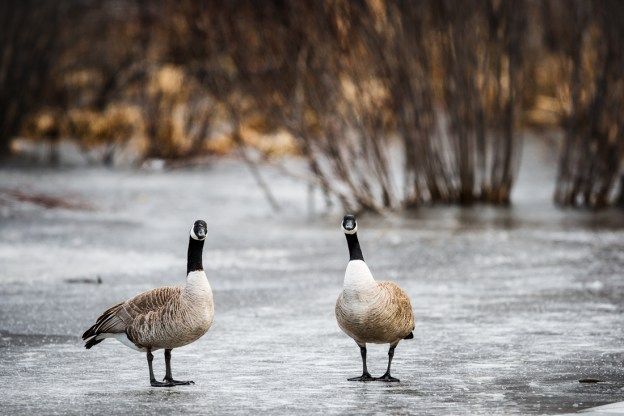 Canadian geese, Branta canadensis, survey the area after a change in weather, at Elk Island National Park.
