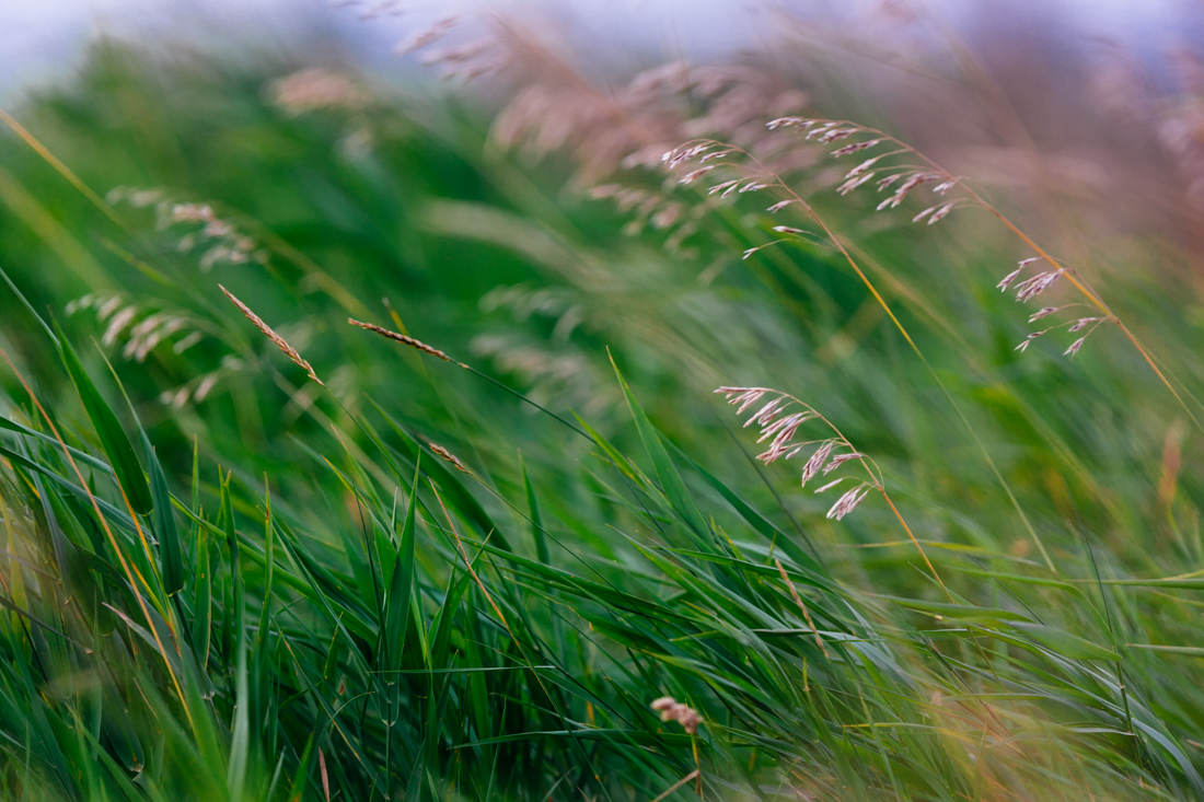 Tall grasses blowing in the late summer warm wind at Elk Island National Park, Alberta landscape.