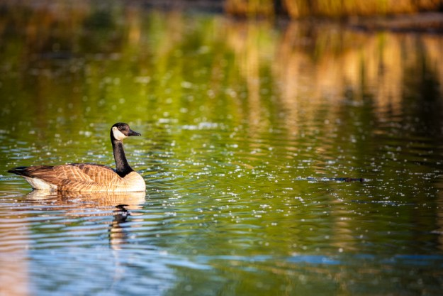 Canadian goose floats in waters cluttered with pollen at Elk Island National Park during mid-spring, early morning. Copy space horizontal.