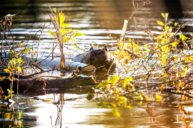 North American beaver (Castor canadensis) rests on a log as he constructs its lodge during an early autumn morning at Elk Island National Park, Alberta wildlife.