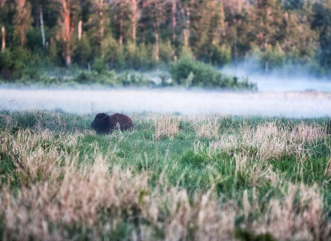 Plains bison cow (bison bison bison) settles in the lush grasslands amongst the dissipating fog during an early summer morning at Elk Island National Park, Alberta wildlife environmental portrait.