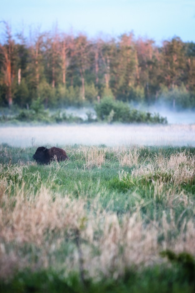 Plains bison cow (bison bison bison) settles in the lush grasslands amongst the dissipating fog during an early summer morning at Elk Island National Park, Alberta wildlife environmental portrait.