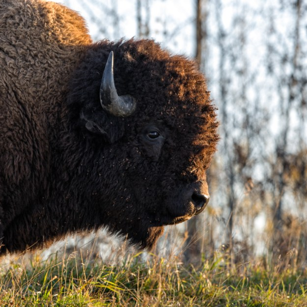 Side profile with rim lighting of a plains bison cow (bison bison bison) during early morning autumn sunlight at Elk Island National Park, Alberta wildlife portrait.