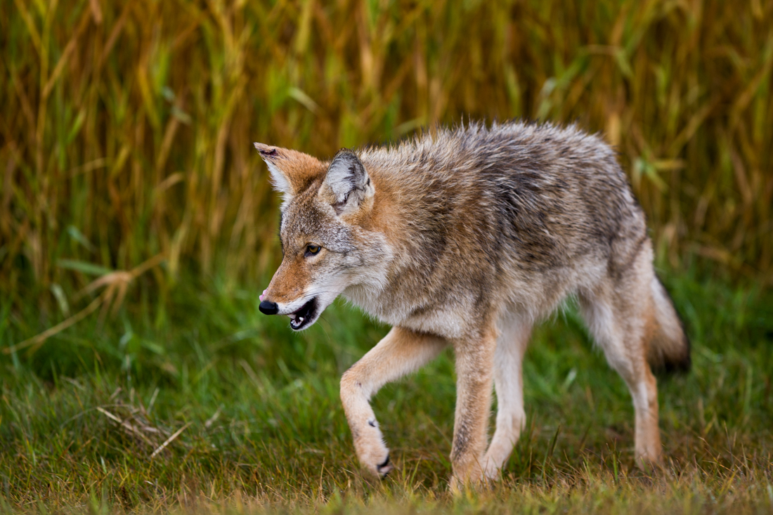 A young coyote (canis latrans) strolls through Elk Island National Park during an early autumn morning, looking for food, Alberta wildlife