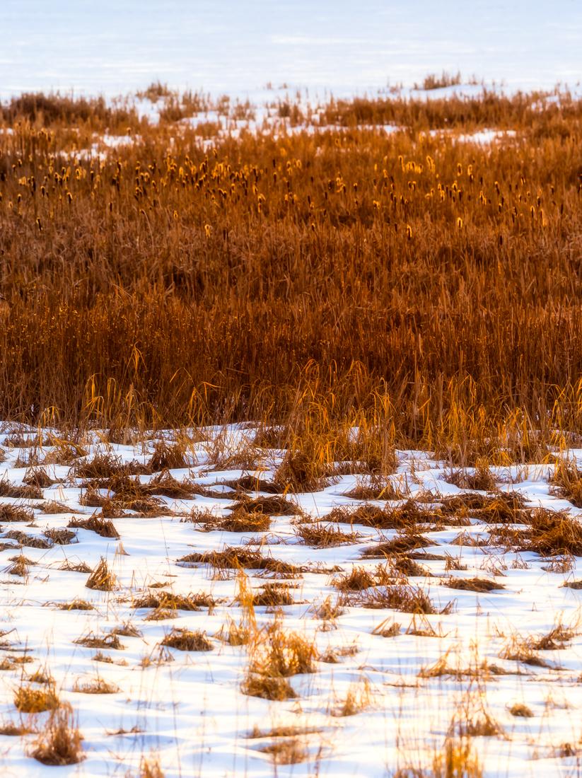 Winter sunrise shining glowing light over dried vegetation at Elk Island National Park, Alberta landscape.