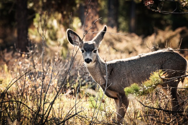Mule deer doe stands alert with curiousity, turning in her ear to listen closer, bathed in early morning rim lighting at Jasper National Park. Alberta wildlife.