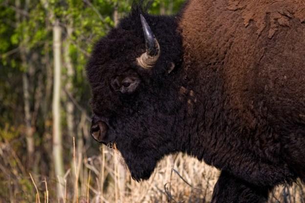 Plains bison bull (bison bison bison) walking through the woods during an early spring morning at Elk Island National Park. Alberta wildlife environmental portrait.