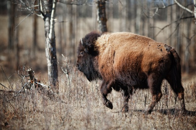 Plains bison cow (bison bison bison) walking through the woods during an early spring morning at Elk Island National Park. Alberta wildlife environmental portrait.
