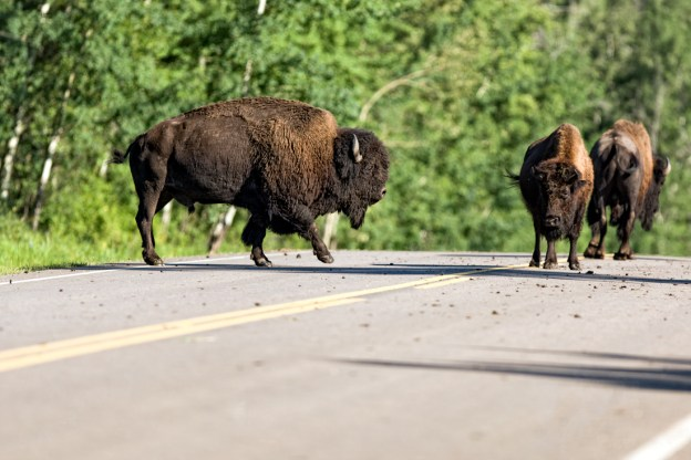 The song and dance continues during the annual plains bison rut (mating season) at Elk Island National Park, here on the main parkway, Alberta wildlife.
