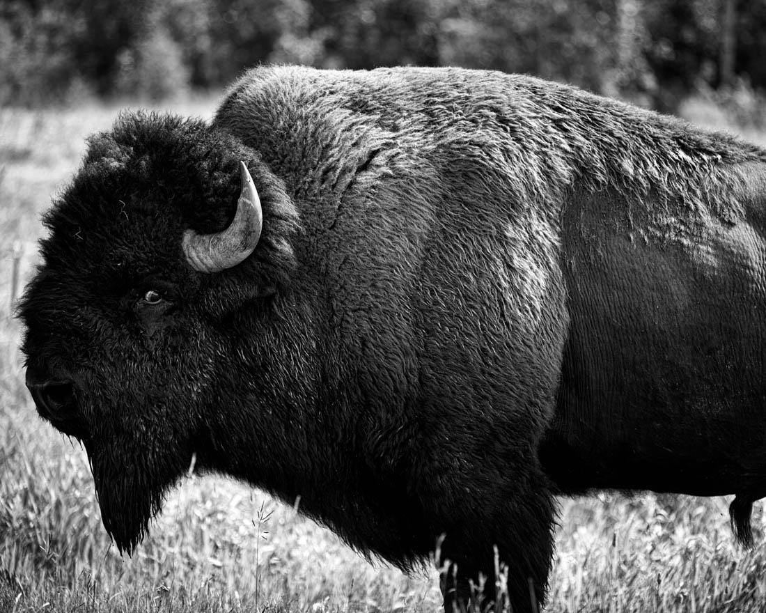 Black and white plains bison bull (bison bison bison) close-up during the annual bison rut at Elk Island National Park, Alberta wildlife behavioural portrait.