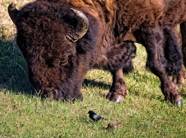 Plains bison grazing on the grass whilst keeping her eye on the two birds right next to her. Alberta wildlife, extirpated species.