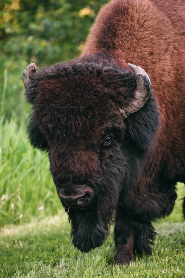 Bull plains bison bull (bison bison bison) up close during the annual bison rut at Elk Island National Park, Alberta extirpated wildlife.