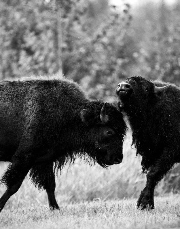 Two young plains bison bulls (bison bison bison) are sparring during the annual bison rut, extirpated wildlife.