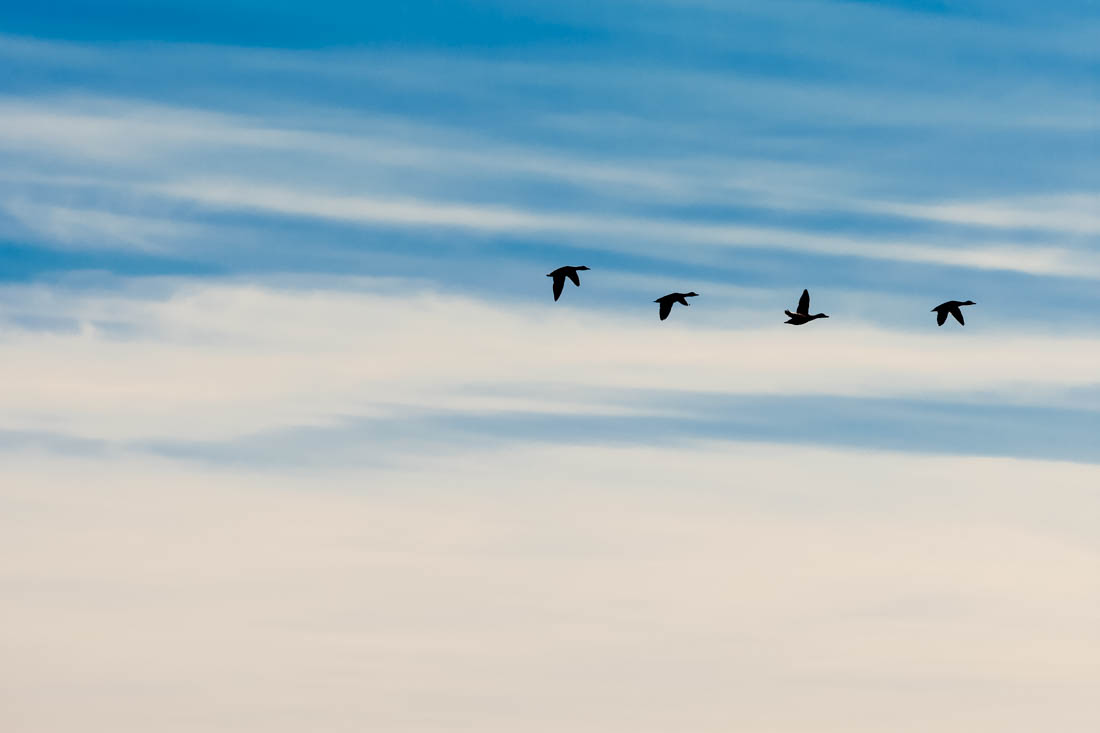 Silhouetted Canadian geese in flight during an autumn mid-morning at Elk Island National Park.