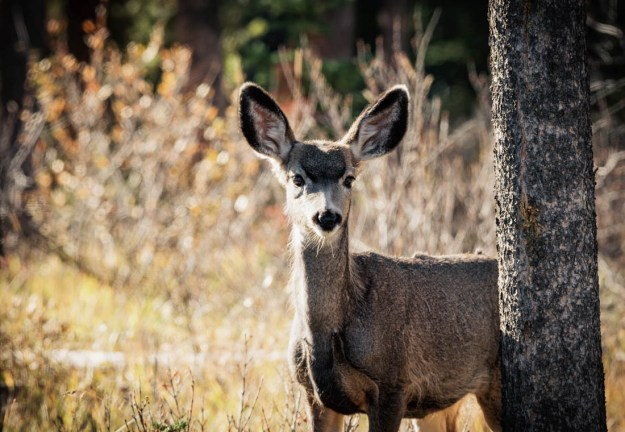 Mule deer doe (odocoileus hemionus) stands alert with curiosity, bathed in early morning rim lighting at Jasper National Park. Alberta wildlife.