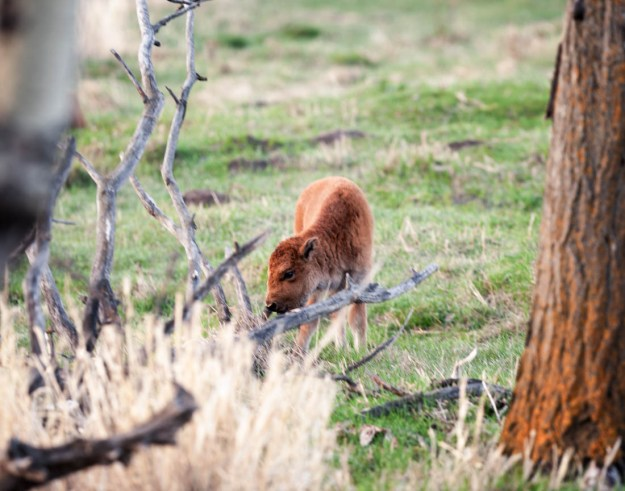 Plains bison calf, Little Red, eating during a spring dawn at Elk Island National Park, extirpated wildlife.