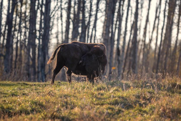 Plains bison cow bathed in rim lighting has a tongue bath as she stands in front of a barren forest during early autumn at Elk Island National Park, Alberta extirpated wildlife.