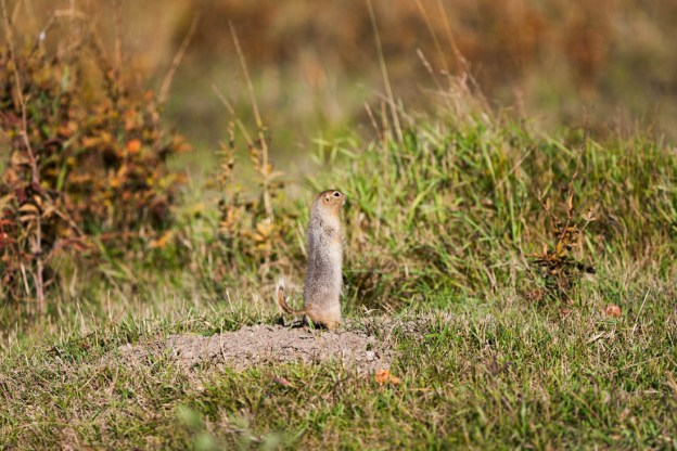 Richardson ground squirrel (prairie gopher) stands alert with its tail curled whilst on the bison loop during an early autumn morning at Elk Island National Park, Alberta wildlife.
