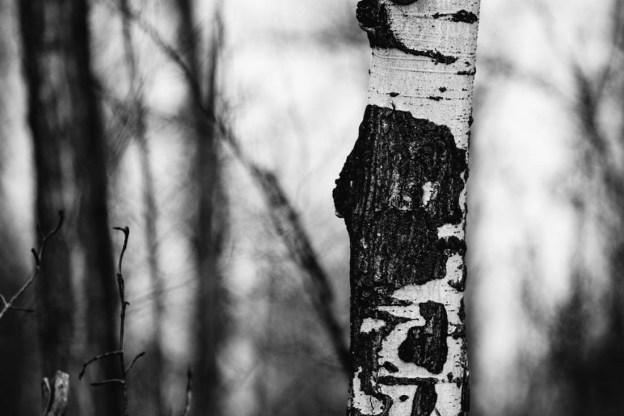 Barren tree trunk during an early spring morning at Elk Island National Park, Alberta landscape.