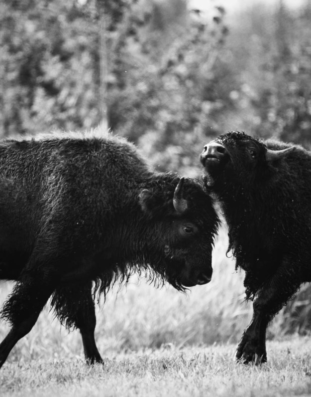 Two young plains bison bulls are sparring during the annual bison rut, Alberta black and white wildlife behavioural portrait and plains bison conservation herd.
