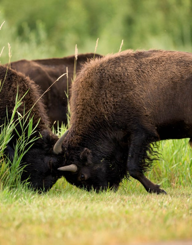 Two young plains bison bulls (bison bison bison, extirpated species) sparring during the annual bison rut at Elk Island National Park, Canada. Alberta wildlife behavioural portrait.