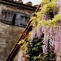 Image of wisteria blooming on the old walls of the outbuildings at Siena House B&B in Tuscany
