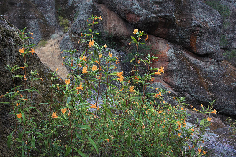 Late spring blooming monkey flower at Pinnacles National Park