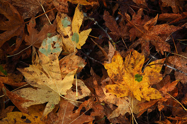 Big leaf maples on Yosemite Valley's floor.