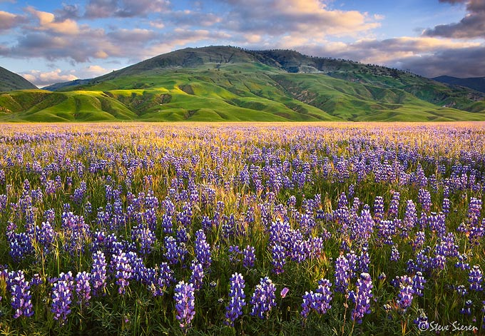 One of the largest wildflower blooms I have ever seen occured in California's Central Valley.  Only 80 miles from Los Angeles.