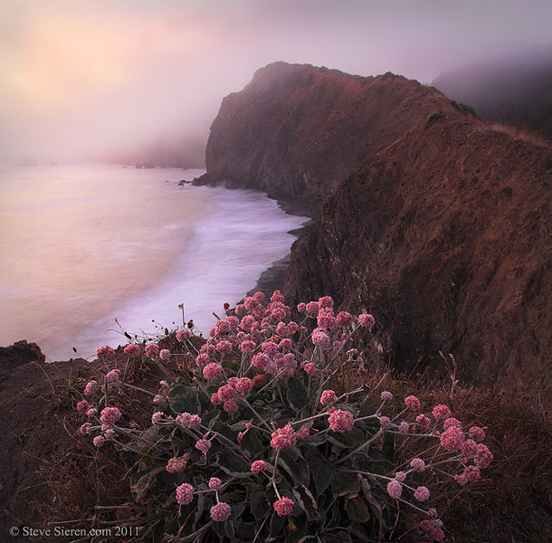 Blooming buckwheat under breaking fog at sunset along California's Lost Coast Trail
