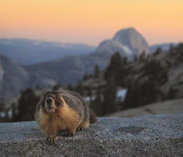 Marmot at Olmstead Point Yosemite