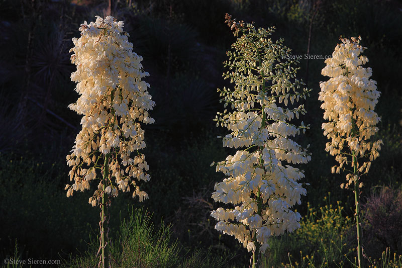 Blooming whipple yucca