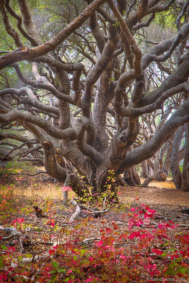 Foggy oak tree amongst poison oak.  Central California Coast