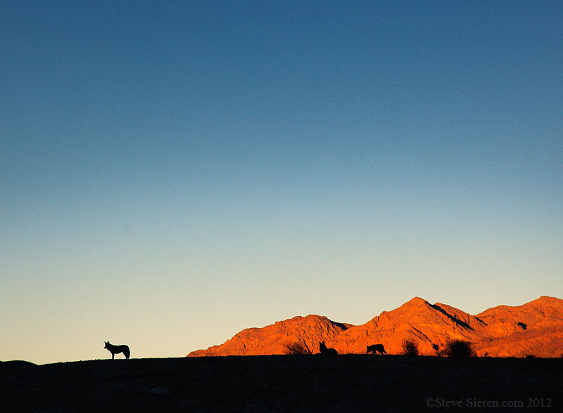 Death Valley Coyote Silhouettes