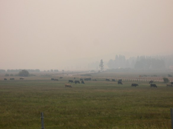 The cows notice it is a little smoky too...