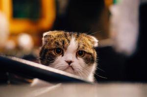 irritated looking short eared cat