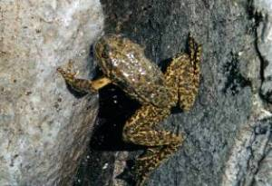 mountain_yellow_legged_frog.jpg