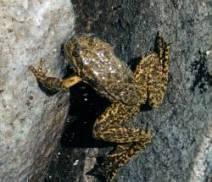 mountain_yellow_legged_frog
