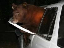 bear_in_minivan