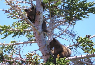 bear_cubs