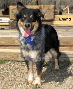 13-02-13 Aussie mix 3 yrs EMMA 2 ID - OR2-13 Adopter Tracie McCall - FACEBOOK