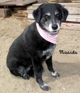 13-04-05 Black Lab mix senior fem MIRANDA 1 ID13-04-003 - Stray 4-3 Bourbon St Aberdeen FACEBOOK 2