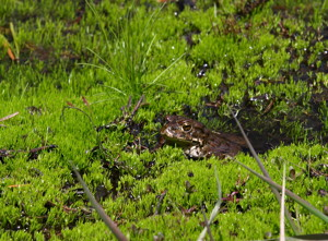 Yosemite toad depends on habitat cover.