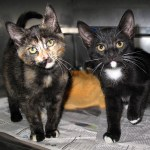 13-06-22 LARK & LEWIS Two of 6 Market St kittens 1 tori & 1 B&W tuxedo AA ID13-05-021 - COLOR NEWSPAPER