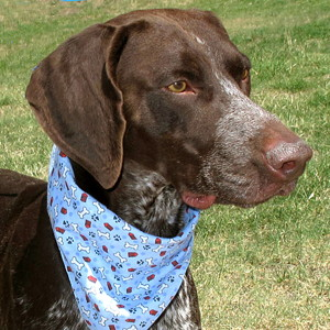 13-08-10 BEN German SH Pointer unneut male 2 yrs ID13-07-033 - COLOR newspaper