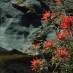 Death Valley Flowers (3)