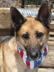 14-06-27 SAMMY German Shepherd fem 5 yrs ID14-06-016 - COLOR NEWSPAPER