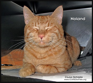 14-08-09 Orange Tabby unneut 2 yr male NOLAND 1 ID14-07-044 - OR 7-31 Laurel Rogers Kutsoginis 342 Pa Me 258-1146 FACEBOOK