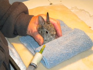 Orphaned cottontail rabbit with foster mom.